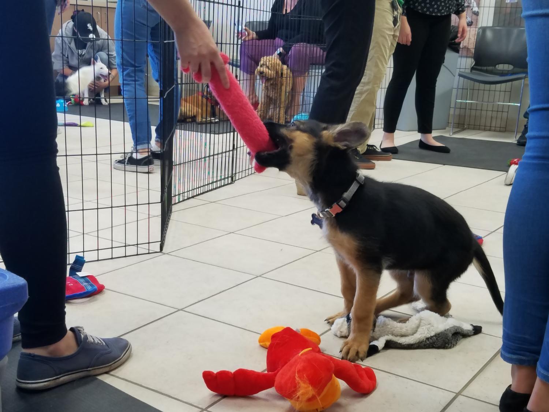 german shepherd pulls on toy
