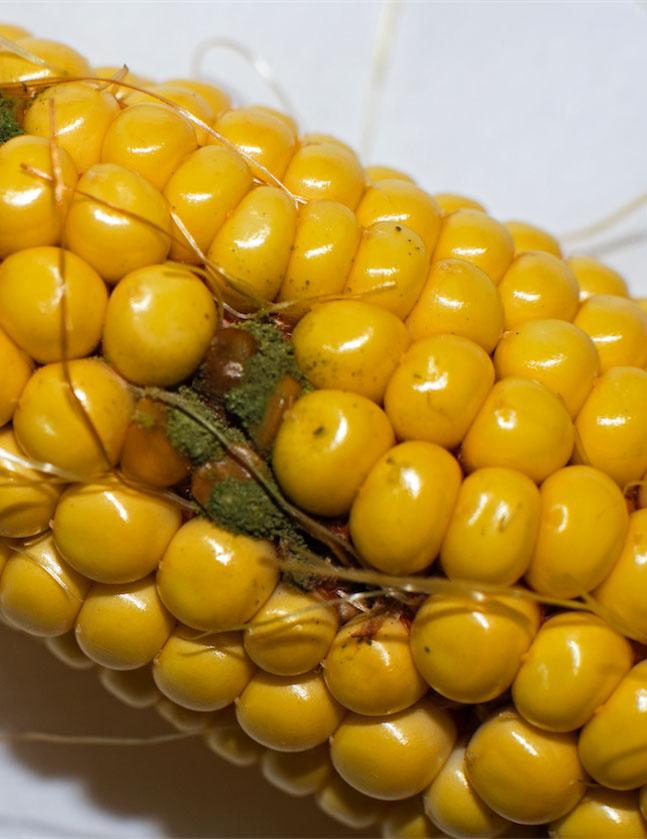 Alfatoxins on an ear of corn