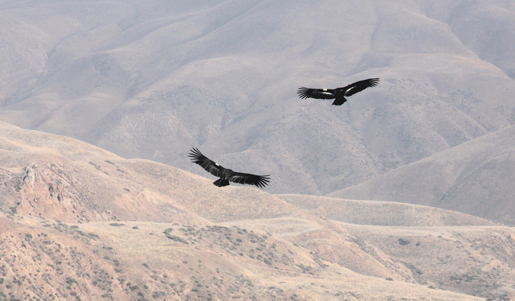 California condors