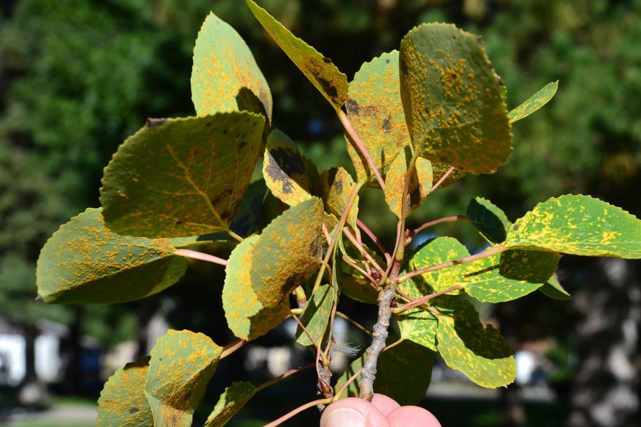 Aspen leaf rust