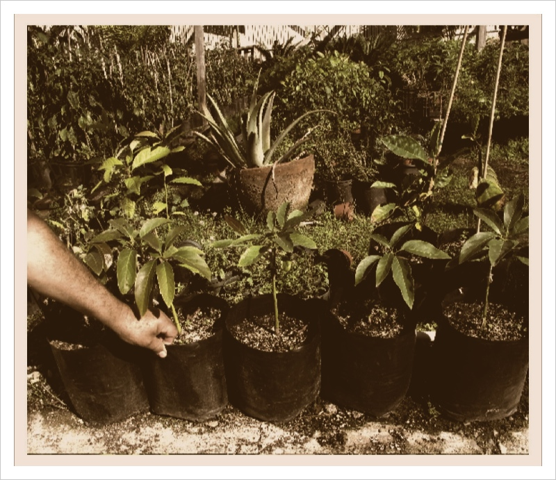 Gonzalez shows the young avocado trees inside his greenhouse.