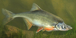 Several federal agencies are translocating juvenile humpback chub to ensure the endangered fish's survival.