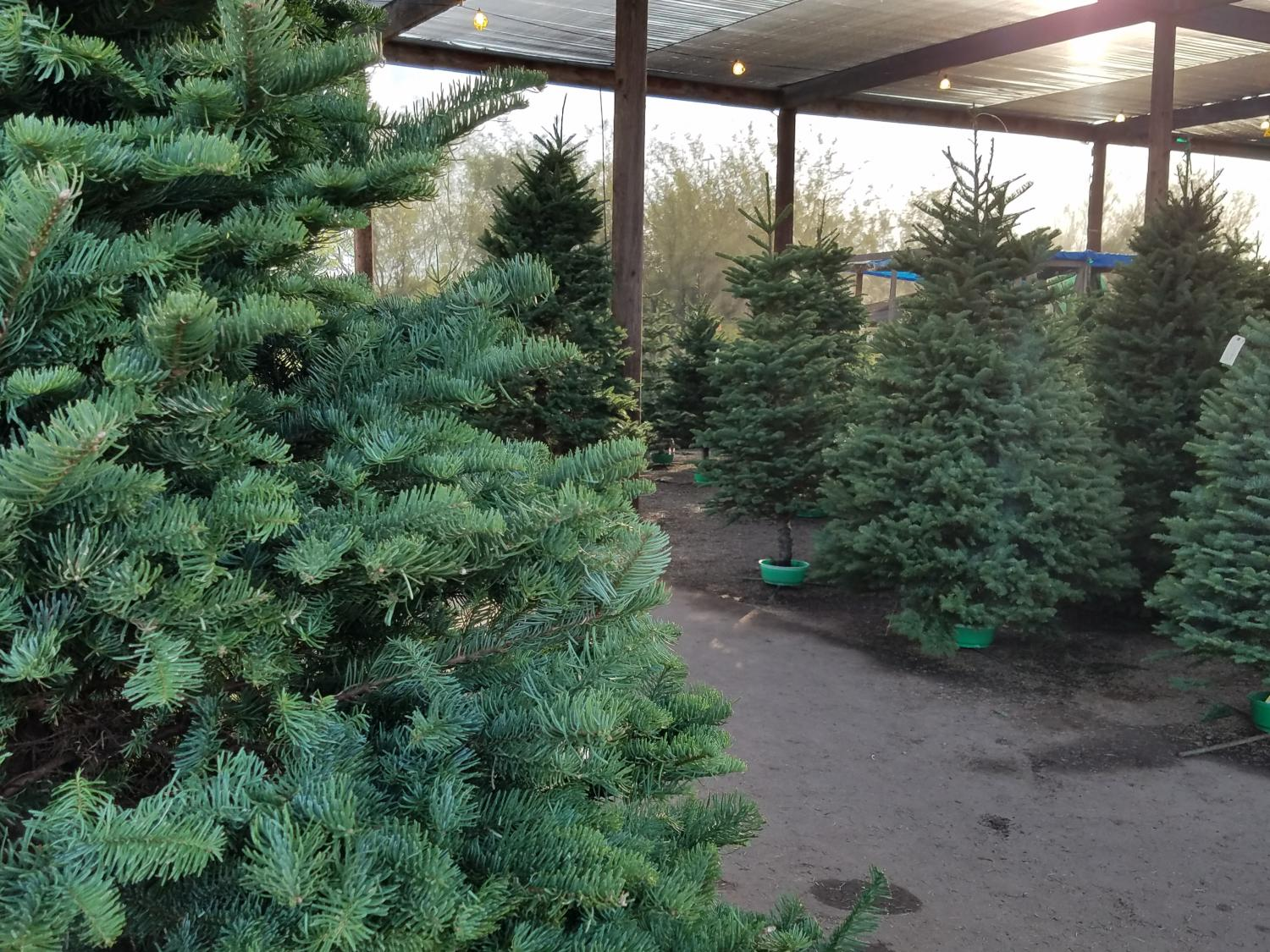 christmas trees in lot