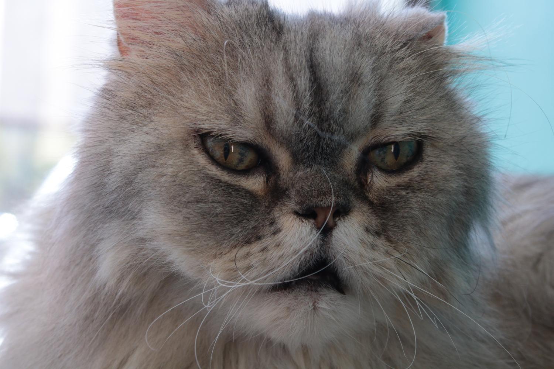 gray grumpy cat