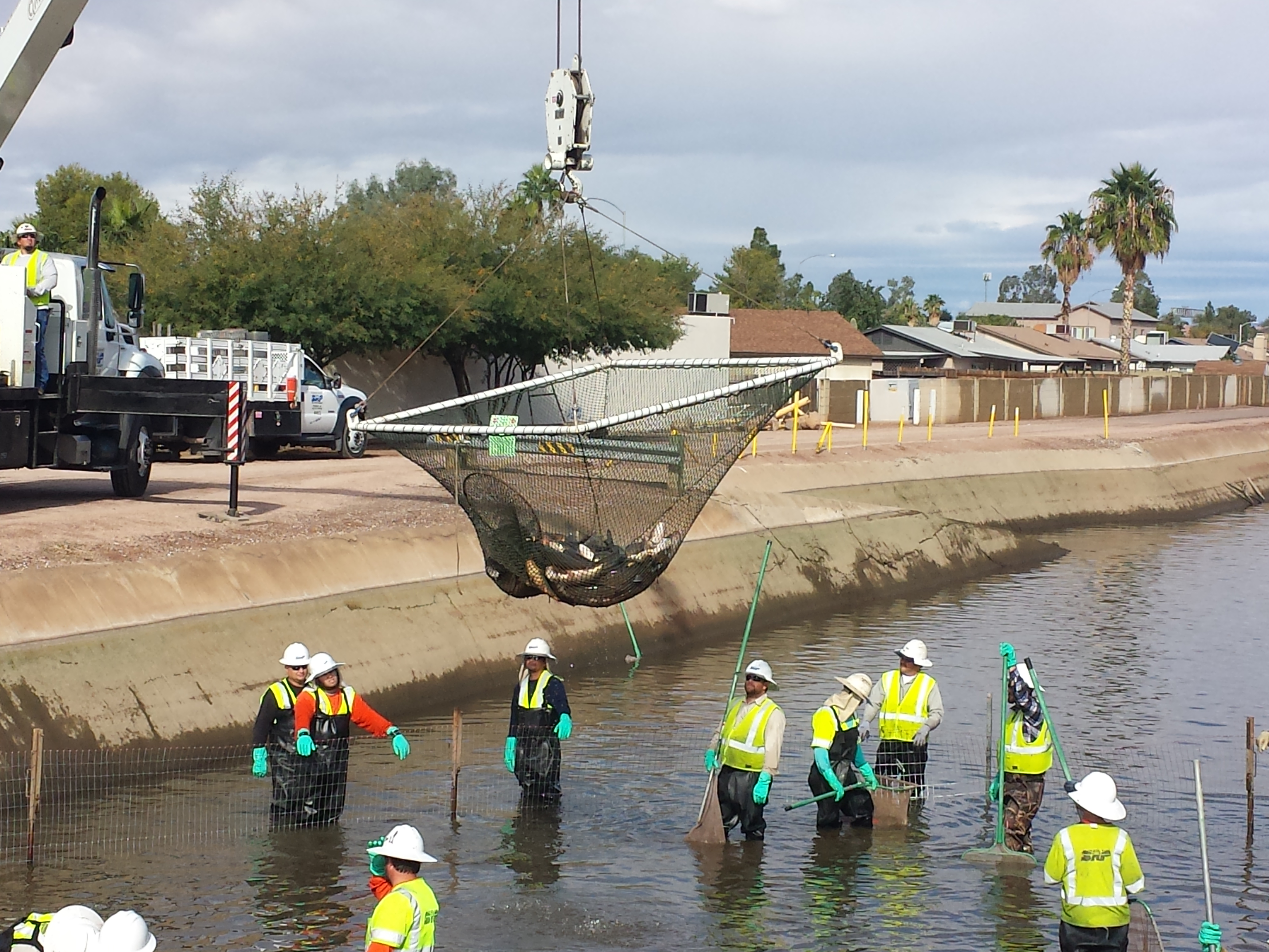 srp removes canal's white amur fish ahead of dryup  kjzz -