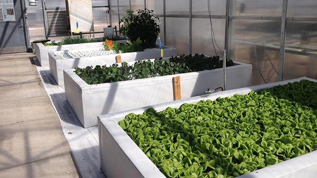 Trays of lettuce
