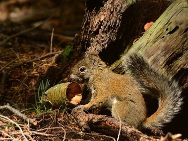 Mountain Graham Red Squirrel.