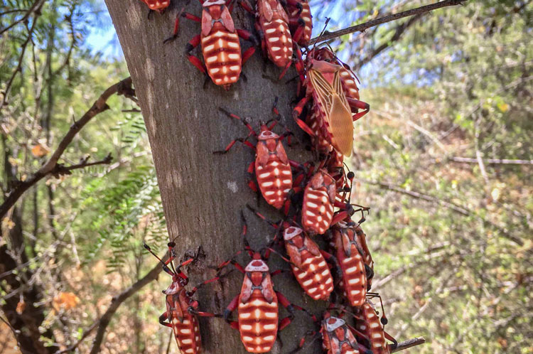 what is this azcritter giant mesquite bugs kjzz