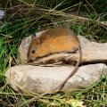 endangered meadow jumping mouse