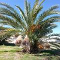 ASU Date Palm Farm Unique In The US