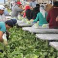 Lettuce Outbreak Tied To Tainted Canal