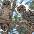 Feds File To Dissolve Mexican Spotted Owl Habitat Ruling