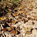 Monarch Butterflies Migrate By The Millions To Central Mexico