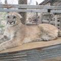 Mountain Lions, Bighorn Sheep Die In Effort To Restore Nature