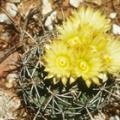 Pima Pineapple Cactus
