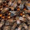 Italian honeybees