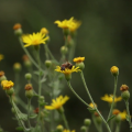 Study Identifies Chemical Culprits In Honeybee Deaths