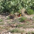 Lesser Prairie Chicken Listed As Threatened, Could Impact Energy Industry