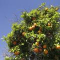 UA Leads Research To Stop Spread Of Citrus Greening