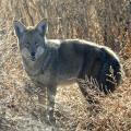 Arizona Approves Ban On Coyote Killing Contests