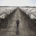 A 'Climate of Fear' Accelerates Existing Labor Shortages on California's Farms