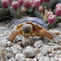baby Sonoran desert tortoise