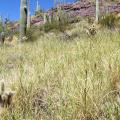 Invasive Buffelgrass Threatens Arizonas Saguaros