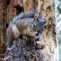Mount Graham Red Squirrel