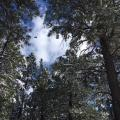 U.S. Forest Service Under Fire For Cutting Old Growth Trees In Arizona Forest