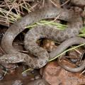 Southwest Snakes Given Endangered Species Protection
