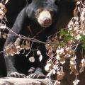 34-Year-Old Malayan Sun Bear Euthanized At Tucson Zoo