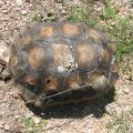 Arizona Game And Fish Department Seeks Information In Shooting Of Desert Tortoise