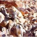 More Relocated Bighorn Sheep Have Died