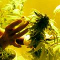 Why Regulators Cant Shut Down This Phoenix Marijuana Grow Facility