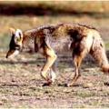 August Is Coyote Time To Hunt And Claim Territory