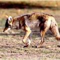 Dewey-Humboldt Condemns Coyote-Killing Contest