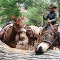 Below The Rim: The Mules That Fuel The Grand Canyon