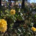 mcc rose