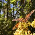 Butterflies And The Biologists Working To Save Them