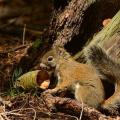 Mount Graham Red Squirrel Population Increases