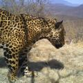 Protecting The Northern Jaguar: Securing Jaguar Corridors