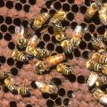 Bee swarm attacks on the rise, but deaths still rare