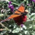 Gardens Offer More Than A Wing And A Prayer To Troubled Monarch Butterflies