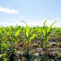 Corn Plant Farm