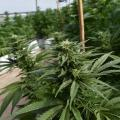 Mexico Takes First Step Toward Legalizing Marijuana