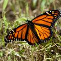 Do Monarch Butterflies Need Federal Protection?