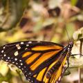 Volunteers Sought To Plant Milkweed To Aid Monarch Butterflies