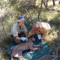 Tracking Mountain Lions In Texas: Study Suggests Population Is Stable