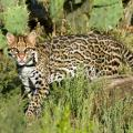 Study Documents 18 Ocelots Living Near U.S.-Mexico Border