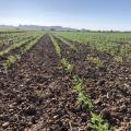 Tepary beans field